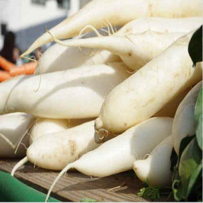 radis blanc bio