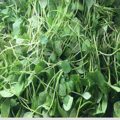 Salade vert Pourpier Bio