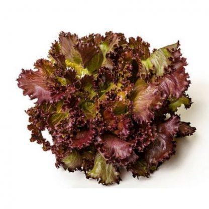 Salade Bio Lollo rossa d'Alsace