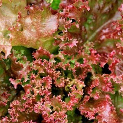 Salade Lollo rossa Bio